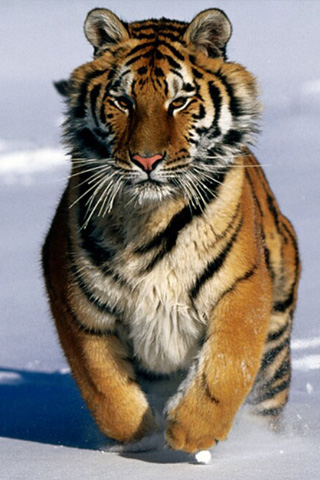 Snowy Tiger IPhone Wallpaper