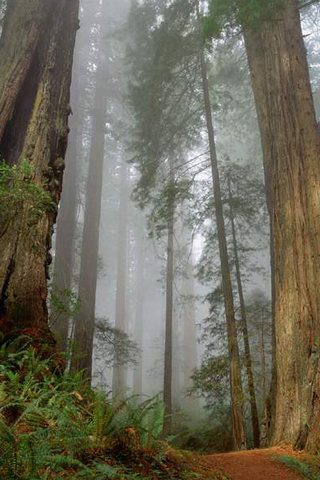 Forest Fog iPhone Wallpaper