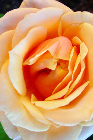 Peach Rose iPhone Wallpaper