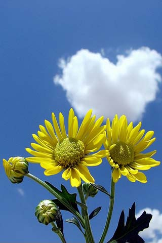 Sun Flowers iPhone Wallpaper