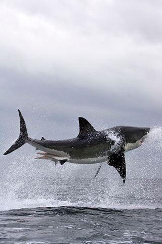 Flying Great White Shark iPhone Wallpaper