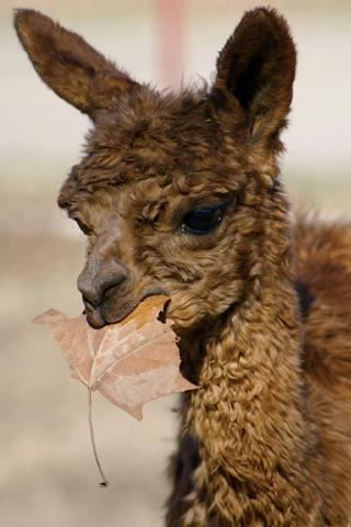 Baby Alpaca IPhone Wallpaper