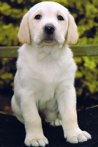 White Labrador Retriever iPhone Wallpaper