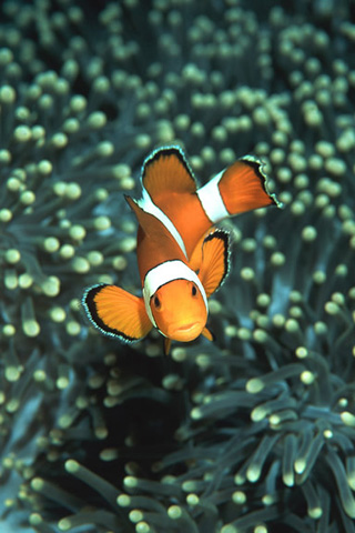Clownfish Closeup iPhone Wallpaper