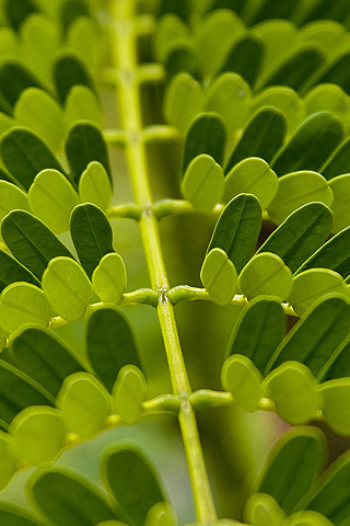 Green Leaves iPhone Wallpaper