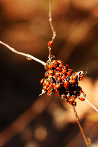 Nest of Lady Bugs iPhone Wallpaper
