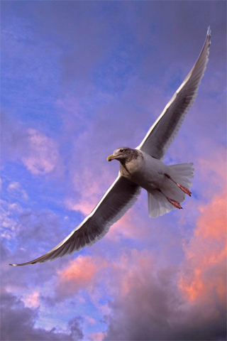 High Flying Seagull iPhone Wallpaper