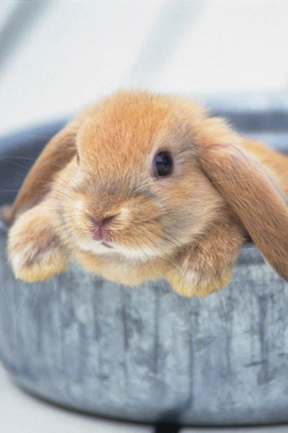 Little Bunny Rabbit iPhone Wallpaper
