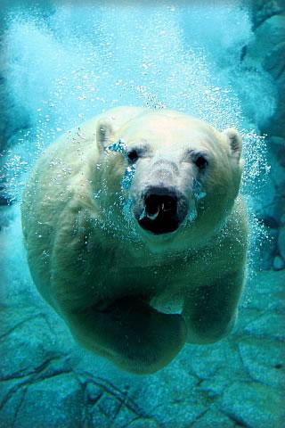 Under Water Polar Bear iPhone Wallpaper