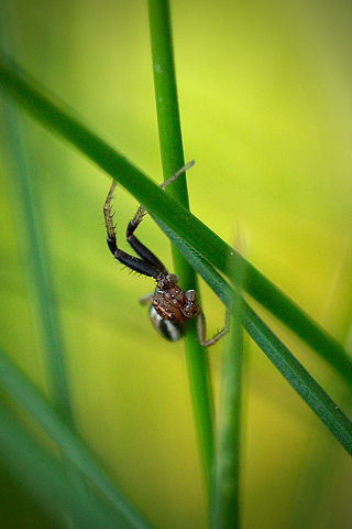 Arachnid Closeup iPhone Wallpaper