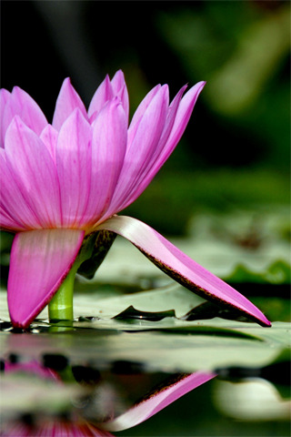 Lotus Flower iPhone Wallpaper