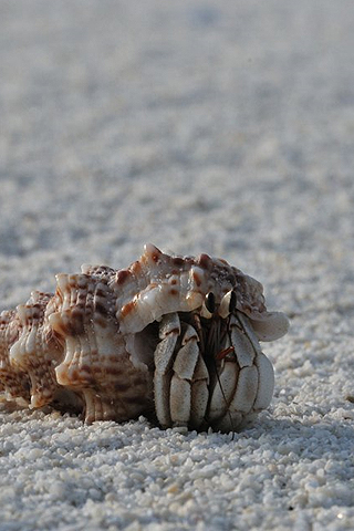 Hermit Crab iPhone Wallpaper