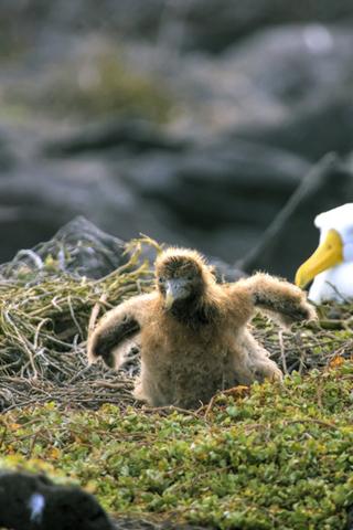 Albatross Chick iPhone Wallpaper