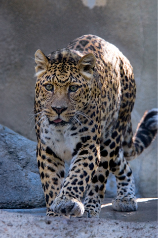 Spotted Leopard iPhone Wallpaper