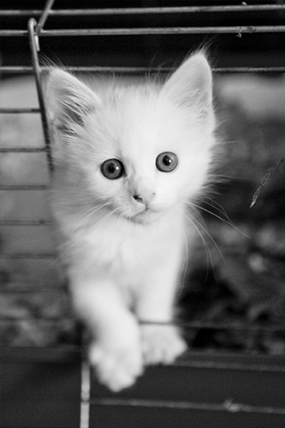 White Kitten IPhone Wallpaper
