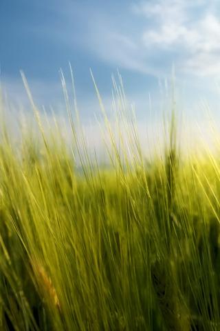 Tall Green Grass Iphone Wallpaper Idesign Iphone