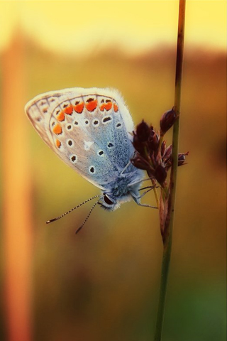 Dreamy Butterfly iPhone Wallpaper