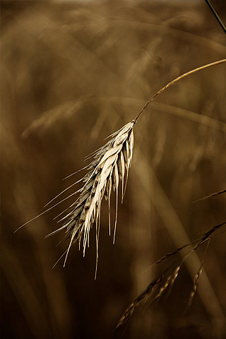 Wheat Strand Closeup iPhone Wallpaper