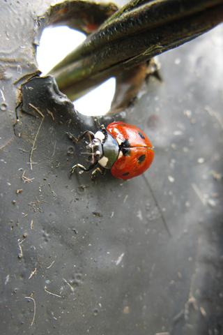 Ladybug Closeup iPhone Wallpaper