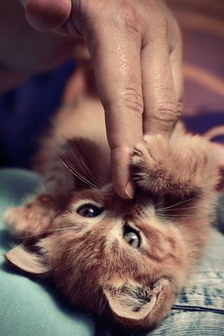 Playfull Kitten iPhone Wallpaper