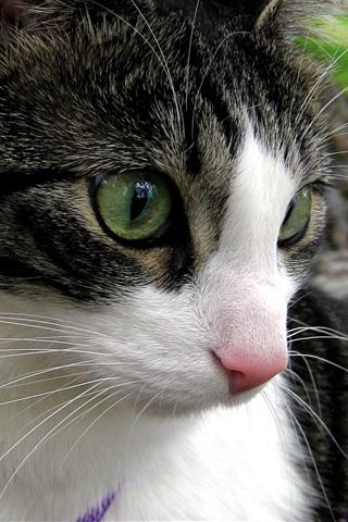 Feline Closeup iPhone Wallpaper
