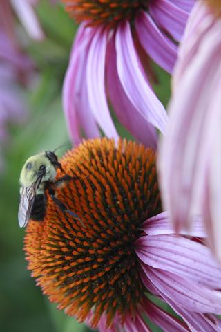Bumble Bee iPhone Wallpaper