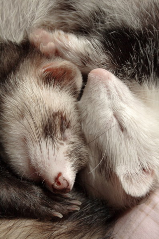 Furry Ferrets iPhone Wallpaper