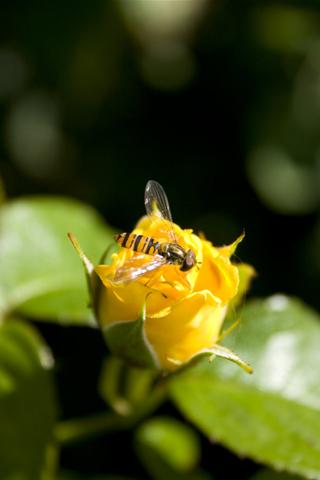 Worker Bee iPhone Wallpaper