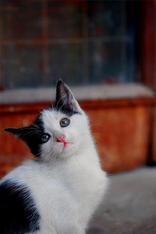 Curious Kitten iPhone Wallpaper