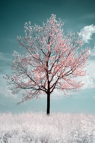 Cherry Blossom Tree iPhone Wallpaper