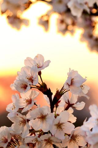 Sunrise Blossom iPhone Wallpaper