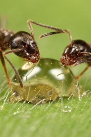 Macro Ants iPhone Wallpaper