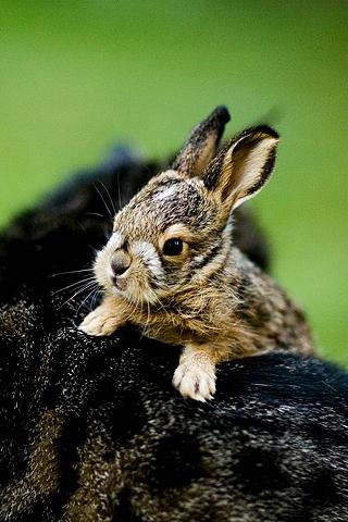 Baby Bunny iPhone Wallpaper
