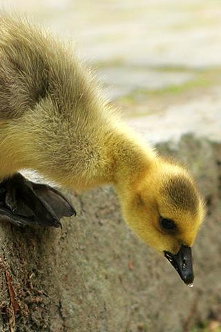 Baby Duckling iPhone Wallpaper