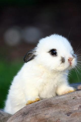 Little Bunny iPhone Wallpaper