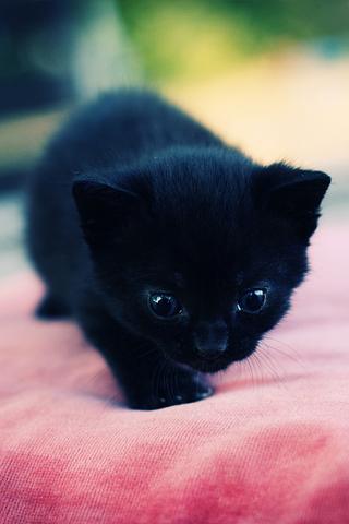 Baby Kitten iPhone Wallpaper