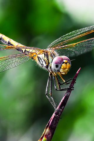 Dragon Fly iPhone Wallpaper