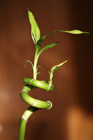 Bamboo Twist iPhone Wallpaper