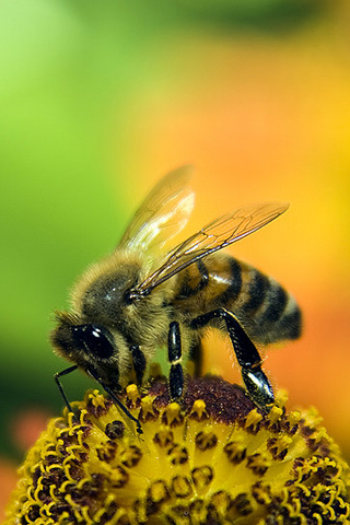 Honey Bee iPhone Wallpaper