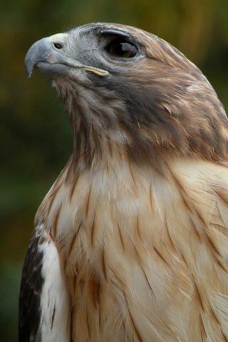 Hawk Closeup IPhone Wallpaper