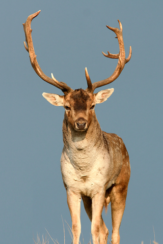 Male Deer iPhone Wallpaper