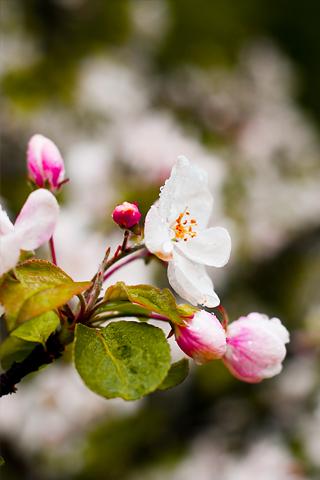 Pink Flower Buds iPhone Wallpaper