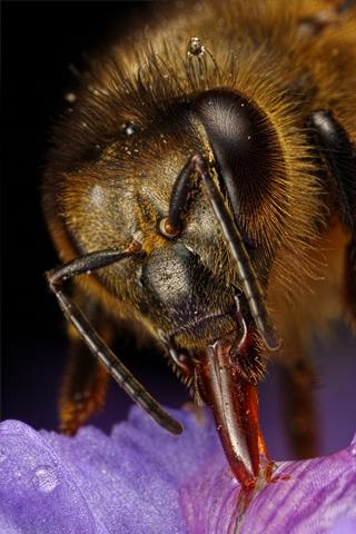 Honey Bee Closeup iPhone Wallpaper