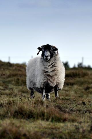 Curious Sheep iPhone Wallpaper