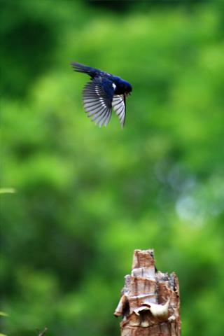 Flying Blue Bird iPhone Wallpaper