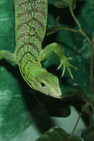 Green Lizard iPhone Wallpaper