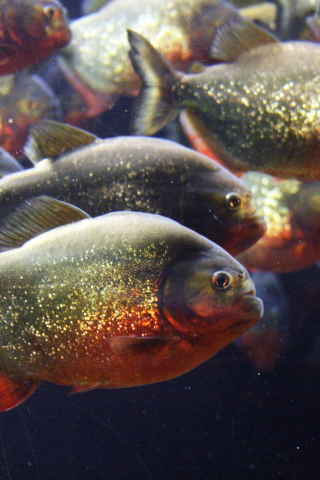 Red Belly Piranha iPhone Wallpaper