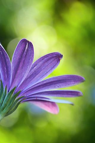 Purple Flower iPhone Wallpaper