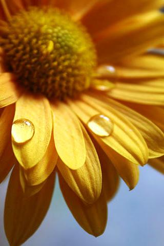 Sunflower Closeup iPhone Wallpaper