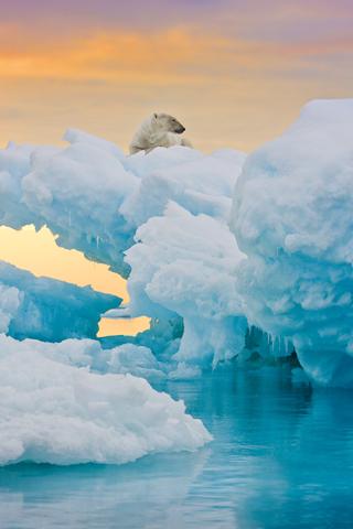 Relaxing Polar Bear iPhone Wallpaper